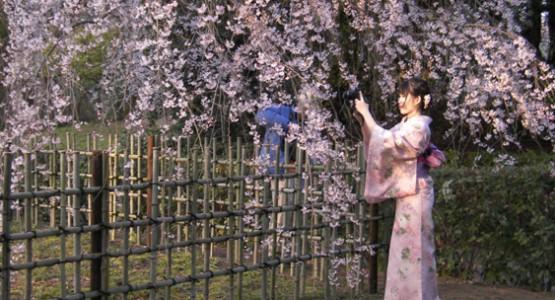 Cherry blossom season: Kyoto Imperial Park